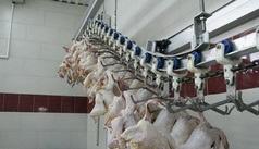 تولید یك میلیون قطعه مرغ بدون مصرف آنتی بیوتیك در هر دوره پرورش در خراسان رضوی
